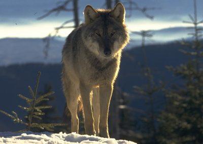 Rewilding Wolf